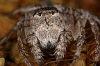 Thomisidae indet 10 2
