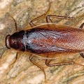 Ectobiidae indet   Forest Cockroach 6 3