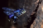Euglossa sp   Orchid Bee 2