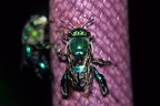 Euglossa sp   Orchid Bee 4 1