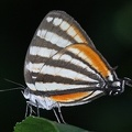 Arawacus togarna  Togarna Hairstreak 3 2