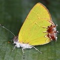 Chlorostrymon telea  Telea Hairstreak 6 2