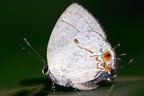Iaspis andersoni  Anderson s Hairstreak 5 2