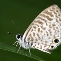 Leptotes cassius  Cassius blue  Tropical striped blue 7