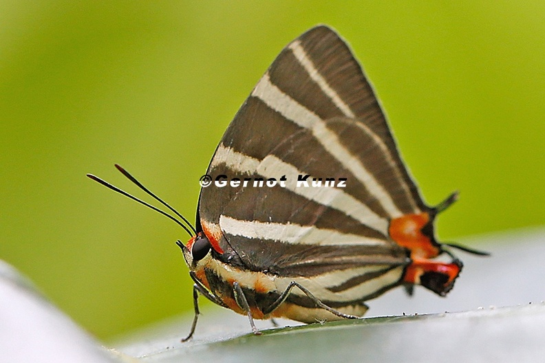 Panthiades_bathildis__Zebra-striped_Hairstreak_7_2.jpg