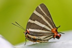 Panthiades bathildis  Zebra-striped Hairstreak 7 2