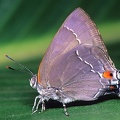 Rekoa marius  Marius Hairstreak 1 2