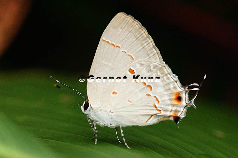 Strymon_megarus__Megarus_Scrub-Hairstreak_5.JPG