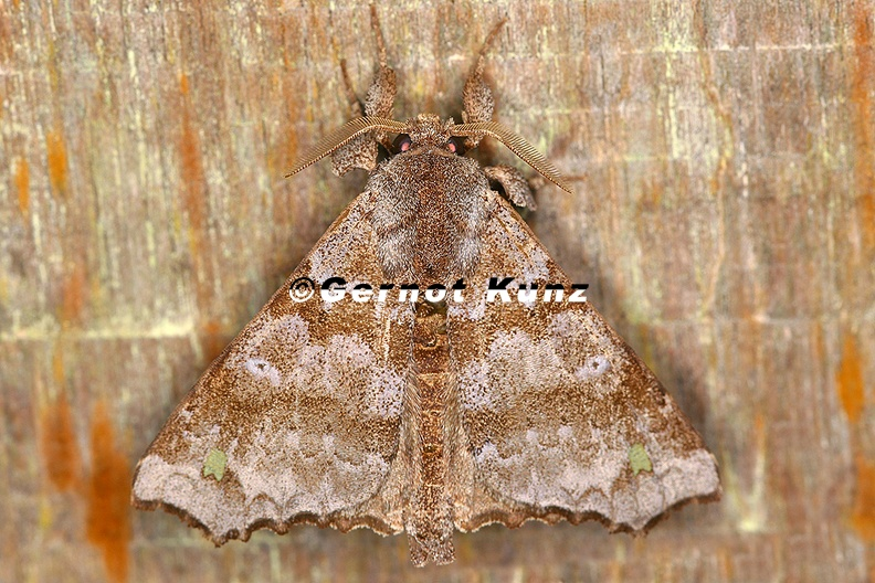 Olceclostera_sp___Green_spottet_angel_moth_7_2.jpg
