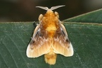 Megalopyge opercularis  Southern Flannel Moth 1 2