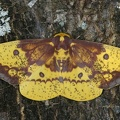 Eacles imperialis decoris M1