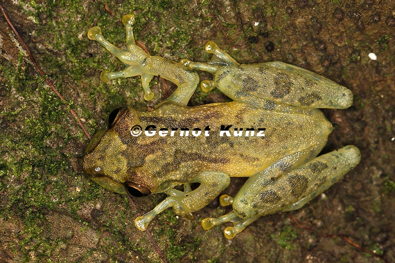 Scinax_elaeochroa__Narrow-headed_treefrog_21_2.jpg
