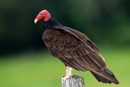Cathartes aura  Turkey Vulture  Truthahngeier 3 2v