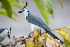Calocitta formosa   White-Throated Magpie-Jay 8 3