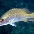 Lutjanus argentiventris  Amarillo  Yellow Snapper 8 2