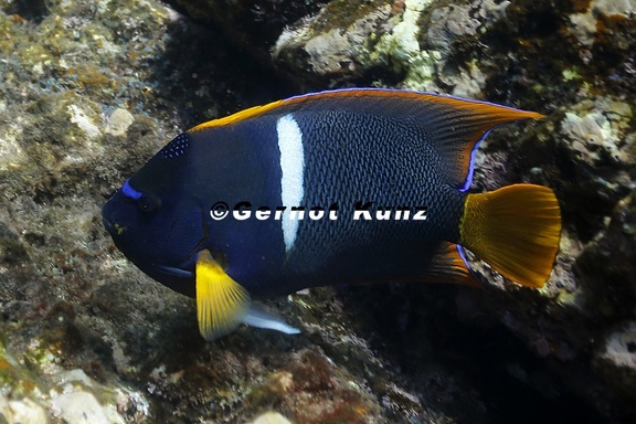Holacanthus passer  King Angelfish 1 2