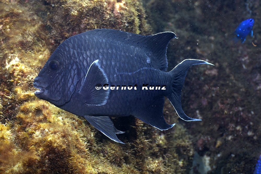 Microspathodon dorsalis  Giant Damselfish  7 2