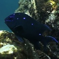 Microspathodon dorsalis  Giant Damselfish juv