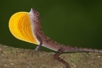 Norops polylepis  Golfo Dulce anole