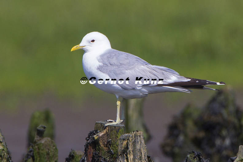 Larus_canus__Common_gull__Sturmm__we__1_3.jpg