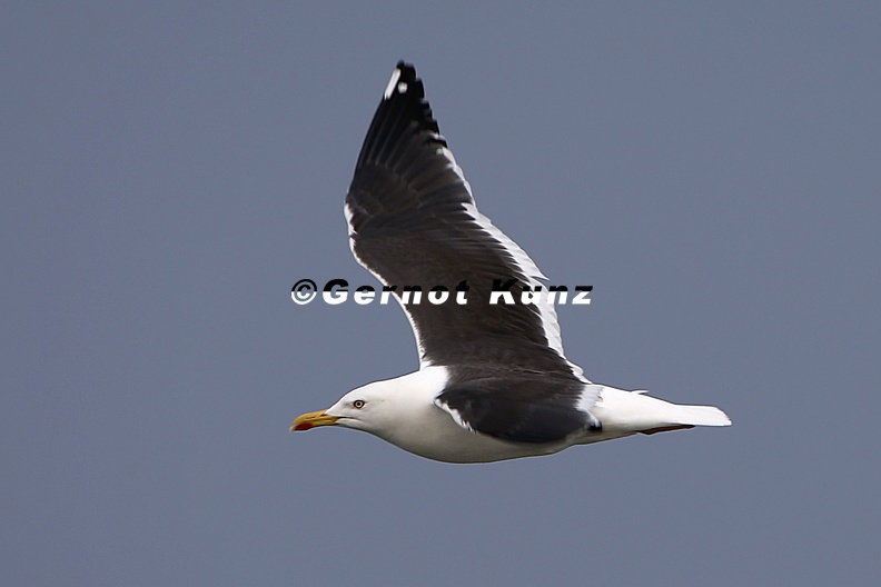 Larus_fuscus_fuscus__Lesser_black-backed_gull__Heringsm__we_1_2.jpg