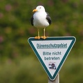 Larus marinus  Great black-backed gull  Mantelm  we 6 2