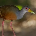 Aramides cajanea  Gray-necked-Wood-Rail  Graukopfcayenneralle 2