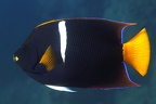 Holacanthus passer  King Angelfish 4 2