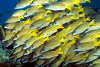 Lutjanus viridis  Blue and Gold Snapper 4 2