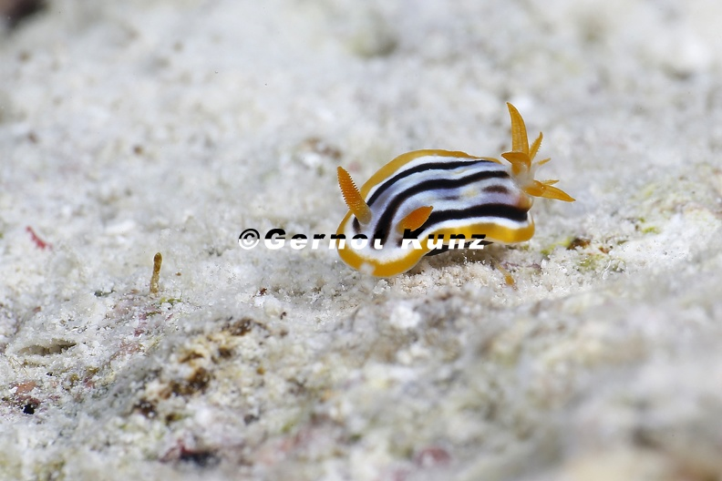Chromodoris_quadricolor__Pyjamaschnecke__2_2.jpg