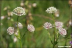 Astrantia major  Gro  e Sterndolde 1 1