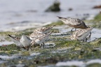 Calidris alba  Sanderling 1 2