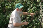 Giovanni Onore collecting Brombeeren