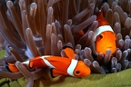 Amphiprion ocellaris  False Clown Anemonefish 1 3