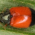 Chrysomelidae indet  10 2 001